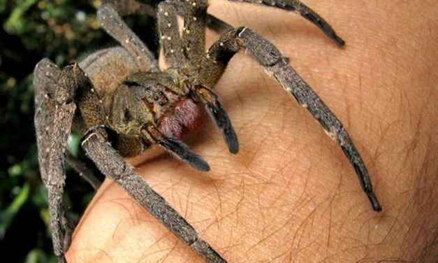World's Most Venomous Spider Spotted in Torquay